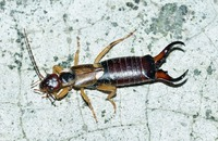Bug of the Month February: Earwigs Image