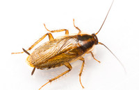 AIPM Can Help Prevent German Cockroach Problems Image