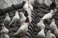 The Hazards of Bird Infestations  Image