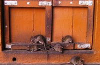 How to Prevent a Rodent Infestation during the Holidays Image