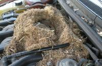 Are Rodents Eating Your Car? Image