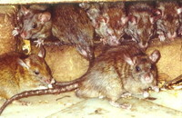 It's Time to Winterize: Prevent Rodent Infestation Image