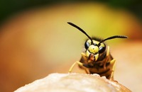 Bug of the Month July: Yellowjackets Image