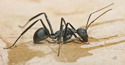 Bug of the Month April: Ants Image