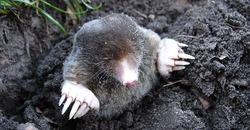Mole vs. Vole: What's the Difference? Image